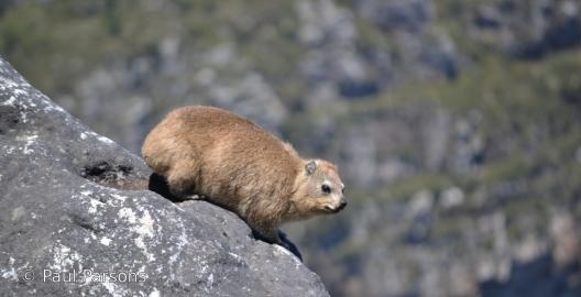 The Dassie on Table Mountain