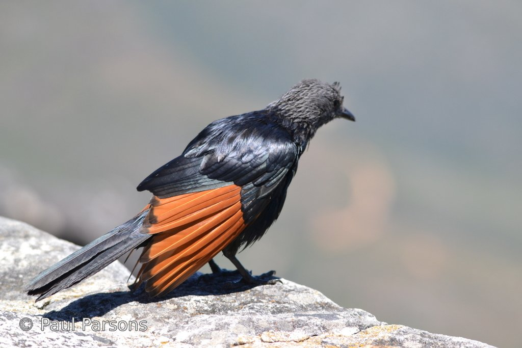 Red Winged Starling on Table Mountain