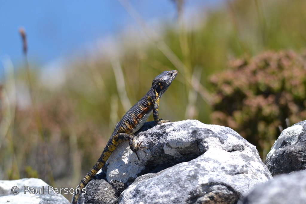 The Black - girdled lizard on Table Mountain
