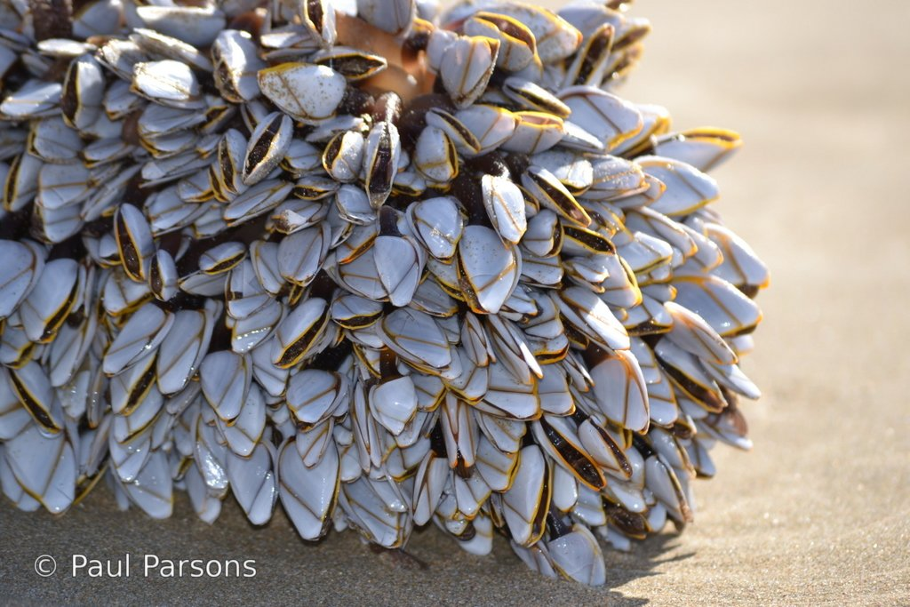Mussels taken on Hartenbos beach in the Wester Cape province South Africa